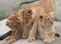 asiatic lion Blijdorp 094A0782 (j.a.kok) Tags: animal asia azie asiaticlion aziatischeleeuw blijdorp mammal zoogdier dier predator leeuw lion pantheraleopersica