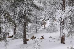 IMG_8694 (patterpix) Tags: grandcanyon arizona snow trees winter canyon storm
