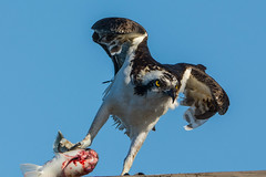 Heavy load (ChicagoBob46) Tags: osprey bird jndingdarlingnwr florida sanibel sanibelisland nature wildlife ngc coth5 naturethroughthelens