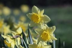 Narcissus pseudonarcissus      H. ROUSSEL INGENIEUR OPTICIEN    F 8 (情事針寸II) Tags: ngc spring printemps 春 クローズアップ 自然 花 喇叭水仙 oldlens bokeh closeup nature flower fleur narcissetrompette wilddaffodil hrousselingenieuropticienf8