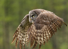 Great Gray Owl...#11 (Guy Lichter Photography - 4.4M views Thank you) Tags: canon 5d3 canada alberta wildlife animal animals bird birds owl owls greatgrayowl