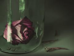 Solitary (donnicky) Tags: bottle closeup dull faded flowerhead glass green indoors petal publicsec purple sad stilllife studioshot transparent