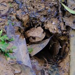Toad (theq629) Tags: animal toad carplake taiwan hualian