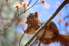 302/365/3954 (April 9, 2019) - Fox Squirrels on a Warm, Spring Day at the University of Michigan - April 9th, 2019 (cseeman) Tags: gobluesquirrels squirrels foxsquirrels easternfoxsquirrels michiganfoxsquirrels universityofmichiganfoxsquirrels annarbor michigan animal campus universityofmichigan umsquirrels04092019 spring eating peanuts aprilumsquirrel 2019project365coreys yearelevenproject365coreys project365 p365cs042019 356project2019