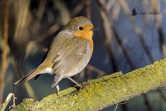 Petirrojo europeo (Erithacus rubecula) (jsnchezyage) Tags: petirrojoeuropeo erithacusrubecula ave pájaro bird birding birdwatching ornithology beak feather robin