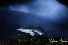 IMG_8988-MDive1 (oalard) Tags: australia australie nelsonbay shark requin sousmarine submarinephotography canon 5d leo3 retra
