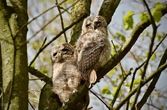 Bosuilen (GeorgeMentink) Tags: uil waldkauz tawnyowl strixaluco bosuil owl tawny aluco strigiformes strigidae