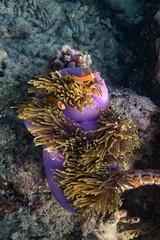 Maldive Anemonefish (davee10101) Tags: 2018 amphiprionnigripes anemone fish heteractismagnifica kandholhu magnificentanemone maldiveanemonefish maldives ritterianemone kandholhudhoo mv