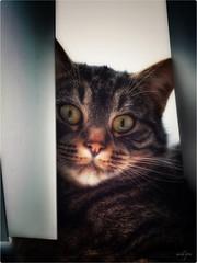Mieneke (MillePie) Tags: neko gato katze cat