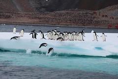 IMG_3566 (y.awanohara) Tags: adelie adeliepenguins penguins antarctica antarcticpeninsula wildlife january2019 icebergs ice icefloes