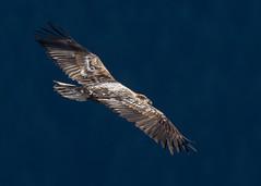 Riding the winds above the river. (nickinthegarden) Tags: americanbaldeagle baldeagle eagle