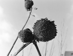 sunflowers 2 (Lennart Arendes) Tags: zenza bronica etrs kodak analog medium format 645 6x45 120 film sunflowers withered winter black white trix 400 grain d76 outside flowers sky shadow highlights