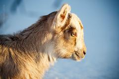 Маленькие козлята (BigDogs.Ru) Tags: alpine russia animal animals farm farmanimals goat goatling goats kid russian snow walking winter yeanling россия альпийский зима коза козлёнок козы русский снег