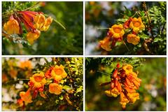 Orange Trompetenbaum-Blüten mit Bokeh - zoom it! (mohnblume2013) Tags: fuerteventura trompetenbaum orange blüten bokeh blumen makro focus kanaren