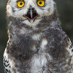 The young snowy owl looking at me thumbnail