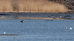 Bald Eagle (jmfuscophotos) Tags: americanbaldeagle westchestercounty baldeagle wildlife crotononhudson newyorkstate nature bird birds newyork eagle hudsonriver raptor birdofprey ny