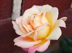 Ach lieber Herr, du bist mein Hirt (amras_de) Tags: rose rosen ruža rosa ruže rozo roos arrosa ruusut rós rózsa rože rozes rozen roser róza trandafir vrtnica rossläktet gül blüte blume flor cvijet kvet blomst flower floro õis lore kukka fleur bláth virág blóm fiore flos žiedas zieds bloem blome kwiat floare ciuri flouer cvet blomma çiçek