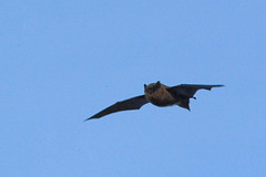 Day-flying bat looking for love on Valentine's Day? (E P Rogers) Tags:
