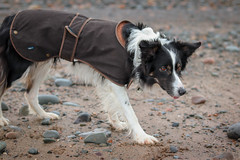 Border collie (matt_dawson123@hotmail.co.uk) Tags: bordercollie collie dog walney barrowinfurness beach sand