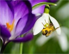 Showing Up (Hindrik S) Tags: crocus krookje krokus snowdrop snieklokjes galanthusnivalis liderkes blue green white yellow pollen stuifmeel stomoal bee bij biene flower blom blume bloem fleur skepping schöpfung schepping creation nature natuur natuer sonyphotographing sony sonyalpha amount minoltaamount 2019 α77 slta77ii sonyilca77m2 tamronspaf90mmf28dimacro tamron 90mm macro