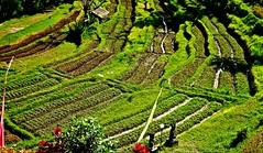 INDONESIEN, Bali ,unterwegs nach Klungkung (Reisterrassen), so grün,  18022/11257 (roba66) Tags: klungkung bali urlaub reisen travel explore voyages rundreise visit tourism roba66 asien asia indonesien indonesia insel island île insulaire isla landschaft landscape paisaje nature natur naturalezza reis rice reisterrassen ricefields green grün