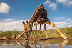 Southern giraffe / Zuidelijke giraffe (Wim Hoek) Tags: mammals zimangagamereserve zuidelijkegiraffe umgodiovernighthide afrika africa giraffagiraffa southerngiraffe twohornedgiraffe zoogdieren uphongolonu kwazulunatal southafrica za