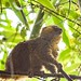 Golden Bamboo Lemur (Hapalemur aureus)