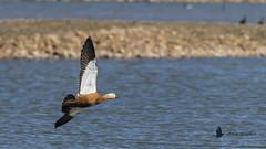 Tarro canelo (Tadorna ferruginea) (jsnchezyage) Tags: tarrocanelo tadornaferruginea ave bird birding birdwatching ornithology beak feather ruddyshelduck shelduck