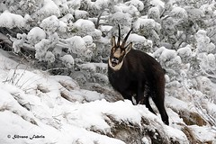 Camoscio maschio (silvano fabris) Tags: mountain nature canon wildlife photonature animals animali camoscio