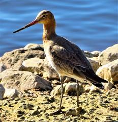 Godwit (olwynam1) Tags: bird godwit nature wildlife waterbird martinmere rock water