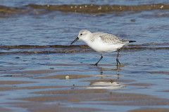K32P7159c Sanderling, Titchwell Beach, February 2019 (bobchappell55) Tags: titchwell beach norfolk wild bird wildlife nature wader sanderling calidrisalba feeding
