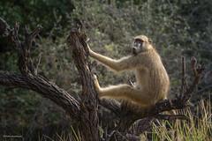 Hey there! (He Ro.) Tags: 2018 africa afrika botswana kanana kananaconcession okavangodelta southernafrica wild wilderness safari baboon papiusursinus chacmababoon chakmapavian bärenpavian tree naturethroughthelens ngc
