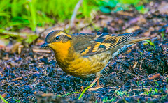Varied Thrush hen--DSC9719--Port Orford, OR (Lance & Cromwell back from a Road Trip) Tags: birds thrush variedthrush lawn lawnbirds portorford currycounty oregon oregoncoast wildlife sony sonyalpha a57 tamron 150600mm tamron150600mmg2