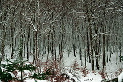 PIPAON ELURRA ART OLEOjpg (juan luis olaeta) Tags: paisajes landscape nieve elurra snow forest bosque basoa hayedo natura photoshop oleo art alava