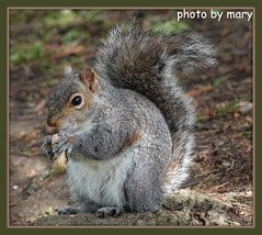 Pregnant or too many nuts??????? (maryimackins) Tags: squirrel wildlife tonbridge kent mary mackins