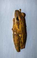 common tree frog - java, indonesia (Russell Scott Images) Tags: java indonesia commontreefrog polypedatesleucomystax amphibian