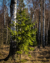 Simple (Petr Sýkora) Tags: bříza les smrk strom birch pine trees forest spring nature morning