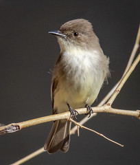 Eastern Phoebe (tresed47) Tags: 2019 201903mar 20190319wissahickoncreekbirds birds canon7dmkii content flycatcher folder march pennsylvania peterscamera petersphotos philadelphia phoebe places season takenby us winter wissahickon