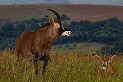 The main characters in our Nyika project. (zimbart) Tags: fauna malawi mammalia mammals nyikaplateau vertebrata africa artiodactyla bovidae roan hippotragus hippotragusequinus
