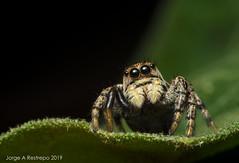 Salticidae (Jorgearrestre) Tags: jumpspider salticidae saltarina artropodo spider araña
