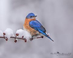 Eastern Bluebird (Bill McDonald 2016) Tags: bluebird march 2019 perched perching bird avian eastern ontario canada wwwtekfxca billmcdonald cute cold chilly