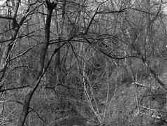 Turtle Grove (Alex Luyckx) Tags: mississauga ontario canada clarkson village historicvillage urban city heritagemississauga turtlecreek park trail creek hike walk greenspace graflex pacemakercrowngraphic crowngraphic viewcamera presscamera largeformat 4x5 5x4 schneiderkreuznachsymmars156210 kodak kodaktrix320 trix320 320txp trix asa320 kodakd76 d76 stock 10 stearmanpresssp445 sp445 pentaxspotmeterv adobephotoshopcc filmphotography film believeinfilm filmisalive filmisnotdead