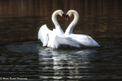 Swan Lake😊 (martin.baskill) Tags: friends graceful swans artistic light atmosphere water friendship peace beautiful reflection nature
