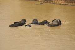 Savanna elephants bathing, Mole National Park, Ghana (inyathi) Tags: westafrica ghana africananimals africanelephants savannaelephants loxodontaafricana molenationalpark molemotel waterholes elephants africanwildlife nationalpark safari africa