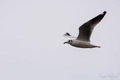 Gull In-flight (PB2_5307) (Param-Roving-Photog) Tags: blackheaded gull aquatic bird migratory wildlife water lake pong dam ramsar sanctuary dhameta himachal birdphotography wildlifephotographer birding safari parambhogal paramrovingphotog visualstoryteller inflight flying