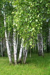 birch trees with young foliage (matykit) Tags: birch tree plant wood leaves forest green foliage summer spring branch trunk grove rest nature oxygen russia wildlife wild white season beauty beautiful grass still bark black environment environmental landscape leafs life nobody outdoors park rural stem color freshness harmony woodland wallpaper background purity lawn eco ecology