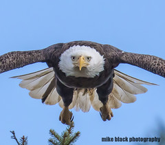 Bald Eagle NJ shore see full size Canon 5DS R 800mm (Mike Black photography) Tags: bald eagle eaglet nj new jersey bird birding mike black belmar shark river jerey shore feather white canon 5ds r body lens 600mm 800mm nature birds beak bills 2019 spring sky blue outside outdoors trees
