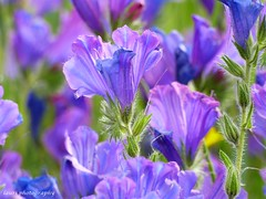 Purple rain (lauracastillo5) Tags: purple flowers bloom blooming field spring garden wildflower nature outdoors