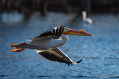 20190408-DSC_7352.jpg (GrandView Virtual, LLC - Bill Pohlmann) Tags: bird americanwhitepelican wisconsin wildlife waterfowl stcroixriver northhudsonwi