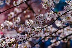 RAW_IMGP4426 (kirinoa) Tags: 横浜市 神奈川県 日本 jp 日ノ出町 黄金町 大岡川 桜